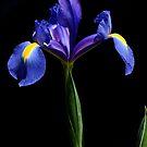 Purple/Blue Iris by Jeffrey  Sinnock