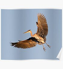 Young Heron Poster