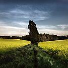 Canola fields by Stevacek