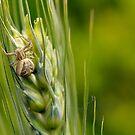 Crabspider, Xysticus cristatus by Lifeware