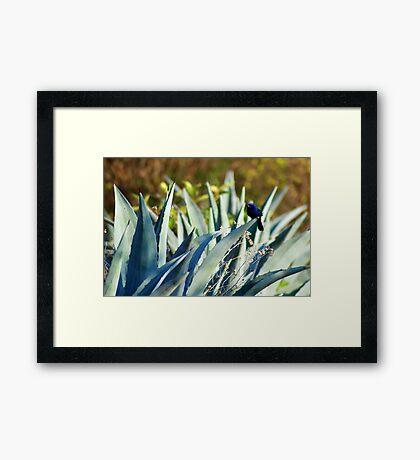 Ultramarine Grosbeak (Passerina brissonii) - Bolivia Framed Print