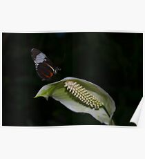Butterfly on a White Anthurium Flower Poster