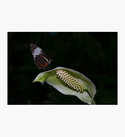 Butterfly on a White Anthurium Flower Photographic Print