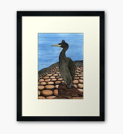 214 - SHAG (PHALACROCORAX ARISTOTELIS) - DAVE EDWARDS - INK & WATERCOLOUR - 2008 Framed Print