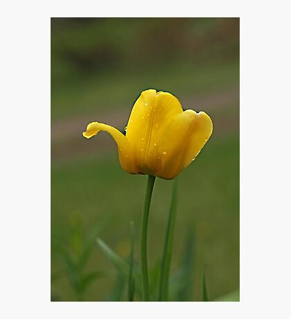 Tulip Tears Photographic Print