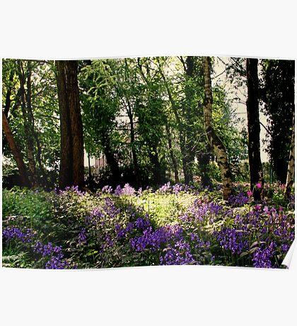 I found my bluebells! Poster