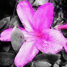 Pink & Gray by DDLeach