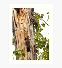 "Northern ""Red-Shafted"" Flicker (pair) Art Print"
