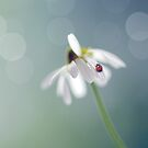 Chamomile and Ladybird by Lifeware