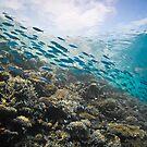 Fusiliers dashing along the reef - Maldives by shellfish
