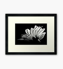 Gerbera In Black And White. Framed Print