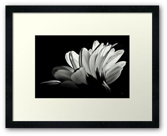 Gerbera In Black And White. by Aj Finan