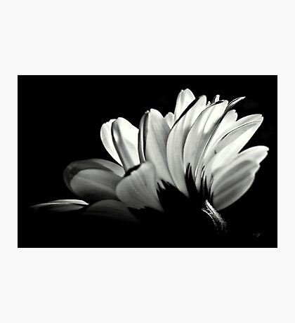 Gerbera In Black And White. Photographic Print