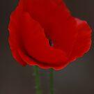 Poppy by TonyGeary