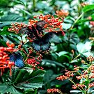A Visit to the Butterfly House In St. Louis Missouri by barnsis