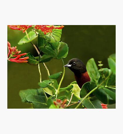 Orchard Oriole Photographic Print