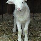 Newborn Lamb by Colleen Drew