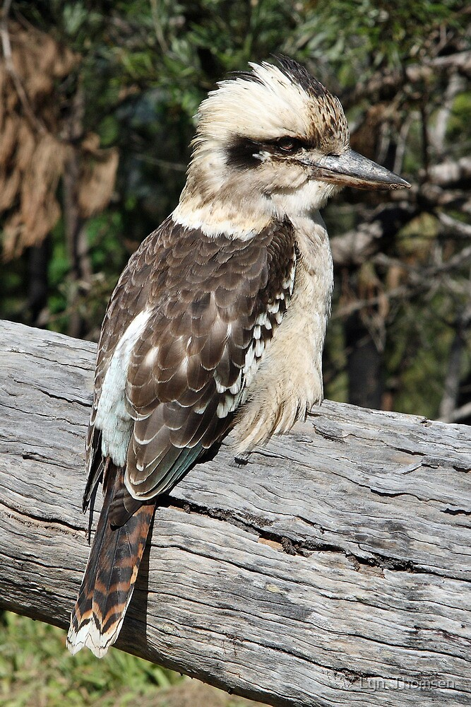 A Blue Winged Kookaburra by Lyn  Thomsen