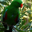 Eclectus Parrot by Barbara  Glover