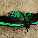 The Green Birdwing by Tracey Hampton