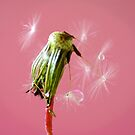 the end of a Dandelion by Joyce Knorz