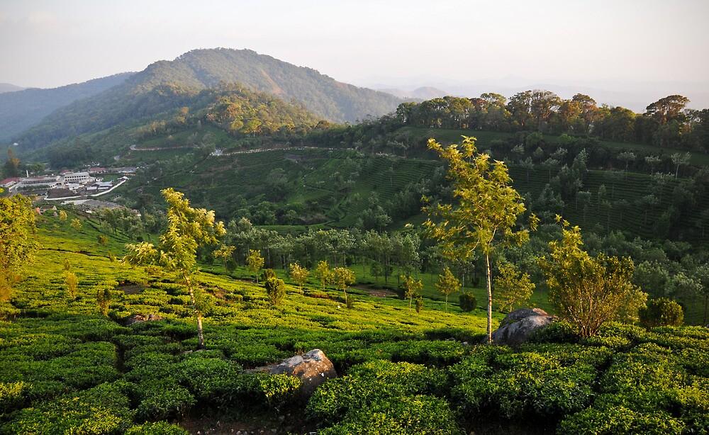 Tea Gardens, Munnar by Dhruba Tamuli