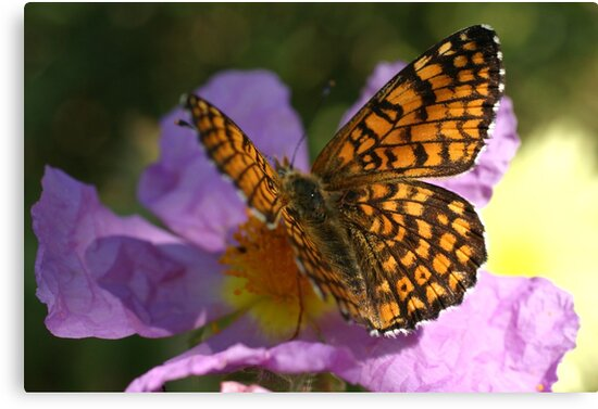 Fritillary by marens