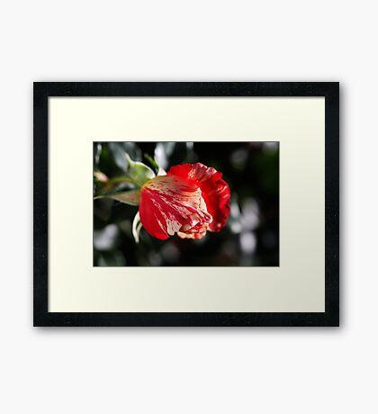 Just Before Winter Rose Framed Print