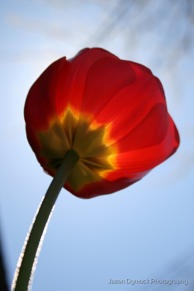 Fuzzy Tulip by Jason Dymock Photography