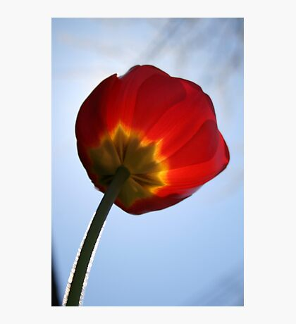Fuzzy Tulip Photographic Print