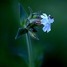 White Campion ( Silene Latifolia) by Alan Mattison