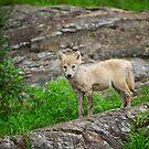 Wolf pup  by Daniel  Parent