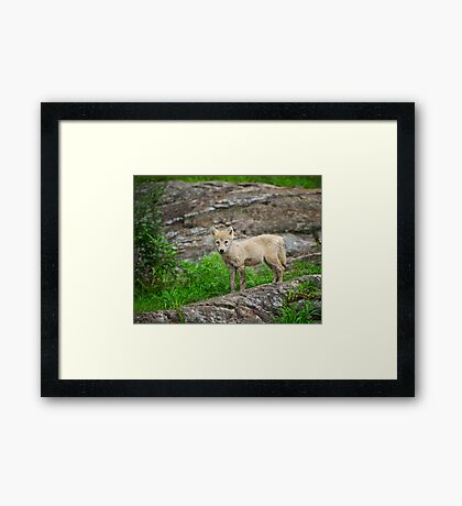 Wolf pup  Framed Print