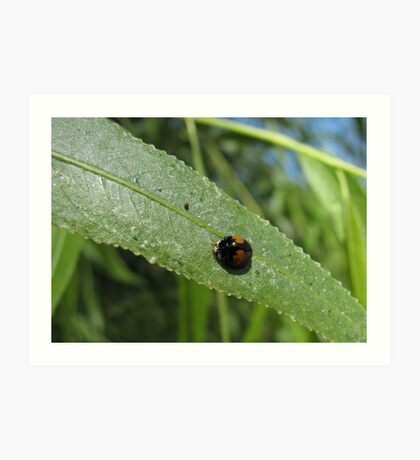 Ashy Gray Lady Beetle (1 of 2 Color Forms) Art Print