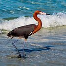 Adult Reddish Egret by Frank Bibbins