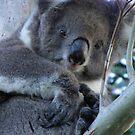 Windswept Koala (Phascolarctos cinereus) - Horsnell Gully, South Australia by Dan Monceaux