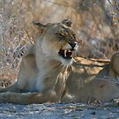 Disgruntled Lioness by naturalnomad