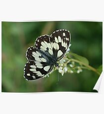 Marbled White Poster