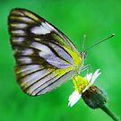 butterfly butterfly by newcastlepablo
