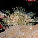 Weedy Scorpionfish - Rhinopias aphanes by Andrew Trevor-Jones