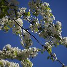 London St James Park blossom by grorr76