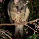 Common Brushtail Possum - Trichosurus vulpecula by Andrew Trevor-Jones