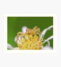 crab spider Art Print