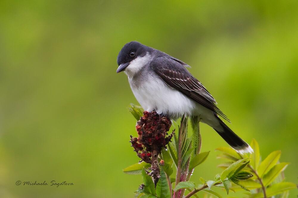 Eastern Kingbird by PixlPixi