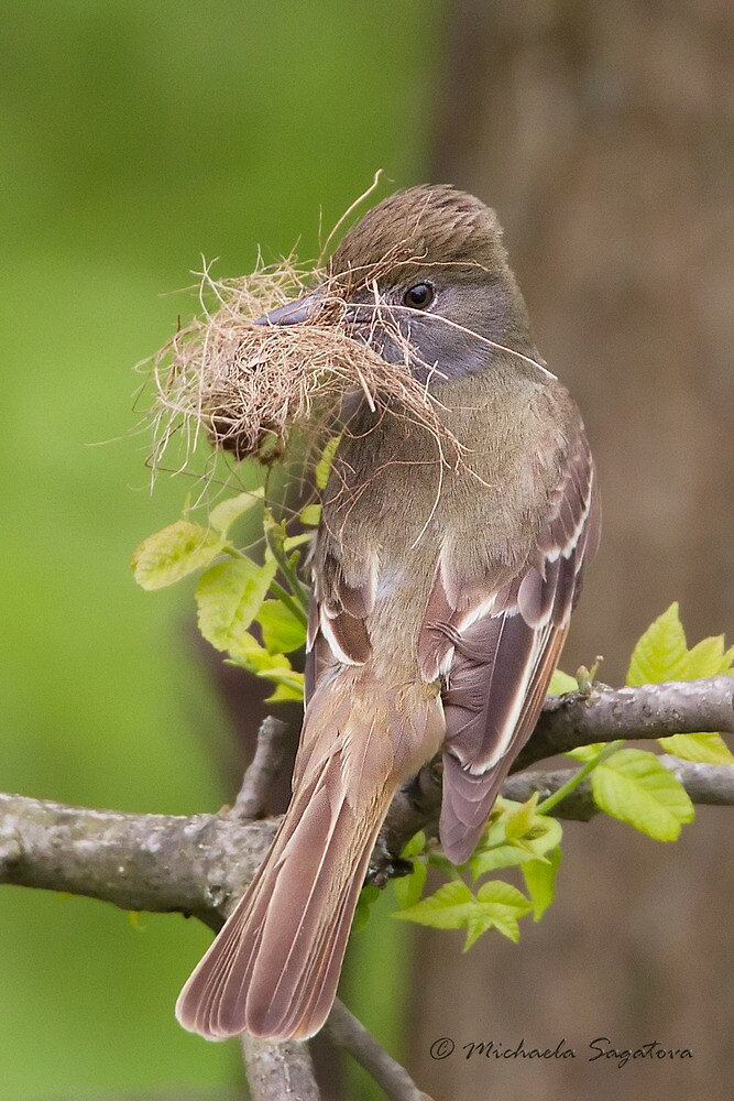 Great Crested Flycatcher by PixlPixi