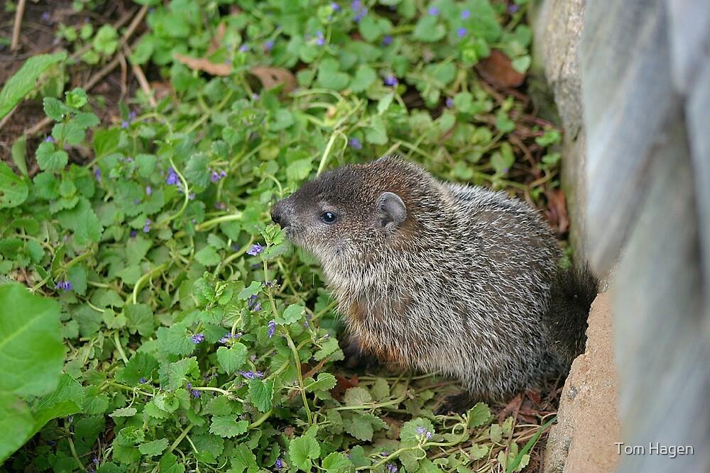 Baby Groundhog by Tom Hagen