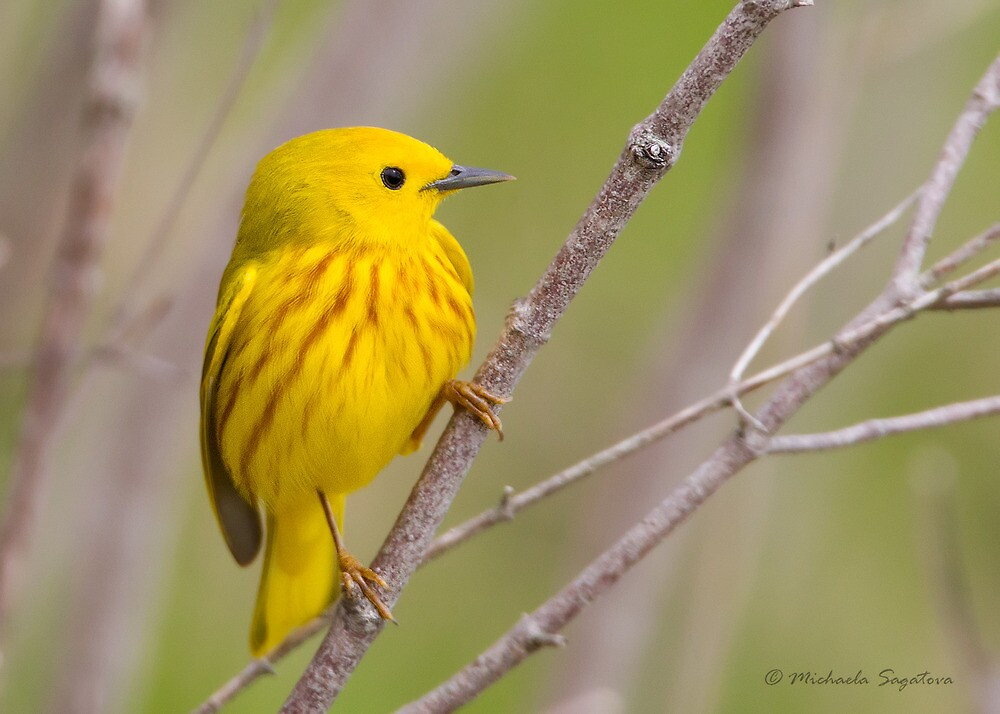 Yellow Warbler by PixlPixi