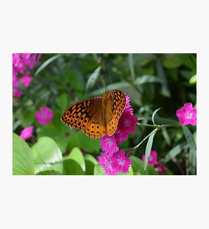 Orange Fritillary Butterfly on Dianthus  Photographic Print