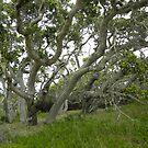 Oak Tree Grove at Ft. Ord by Sandra Gray