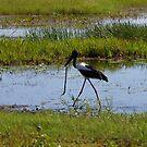 Black-necked Stork (Ephippiorhynchus asiaticus) by BxPhotographics